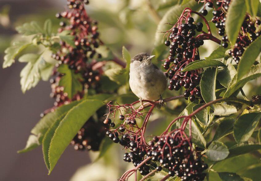 Migration, mode d'emploi - La Salamandre oiseau fauvette sureau