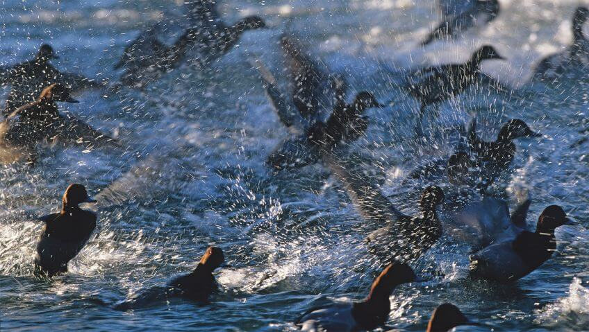 Migration, mode d'emploi - La Salamandre fuligule canard