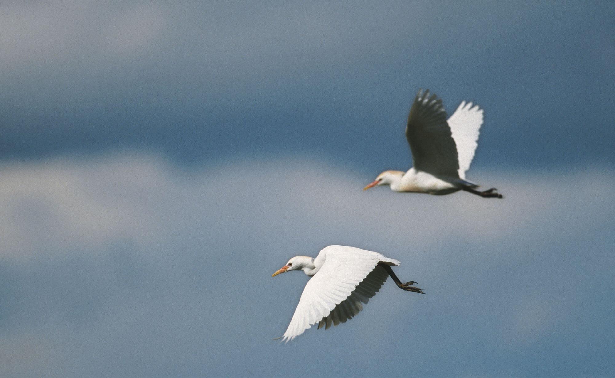 Migration, mode d'emploi - La Salamandre héron oiseau vol