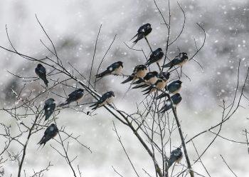 Migration, mode d'emploi - La Salamandre hirondelle oiseau froid hiver