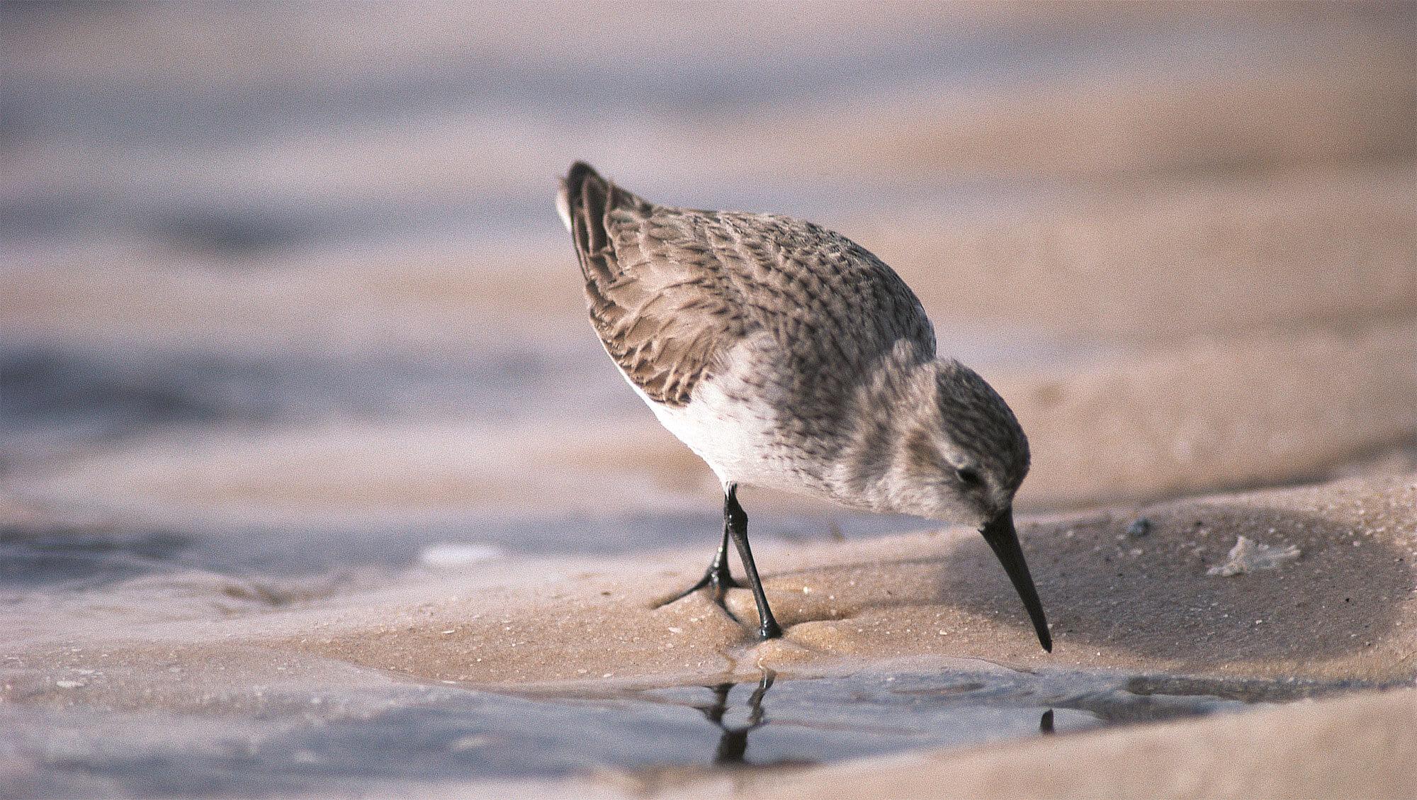 Elevages en grippe ... aviaire - La Salamandre oiseau becasseau