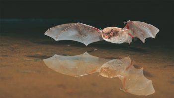 Le murin de Daubenton chasse principalement au-dessus des étangs et des rivières. Il fréquente aussi les milieux forestiers.