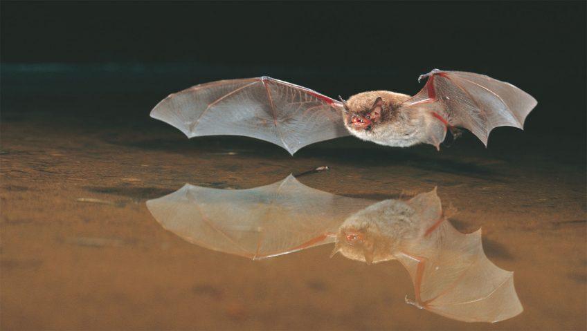 Chauves-souris sous les ponts de pierre - La Salamandre