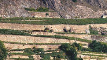 Le vignoble de Clavau, dans les…