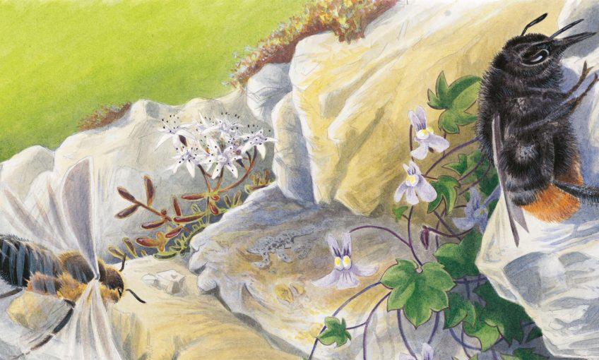 Princesses des rocailles, la biodiversité des murs de pierre - La Salamandre