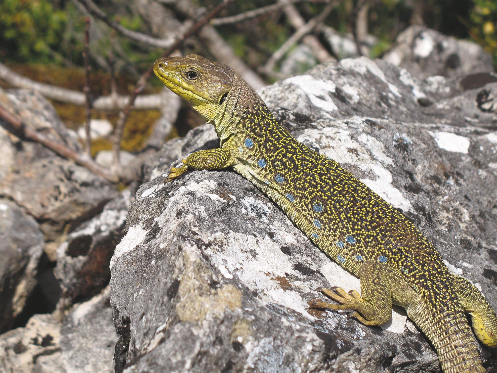 La belle couleuvre de Montpellier - La Salamandre lezard