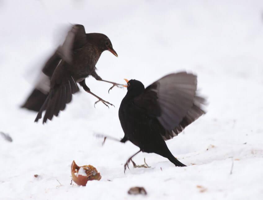 Migration, mode d'emploi - La Salamandre merle noir oiseau combat