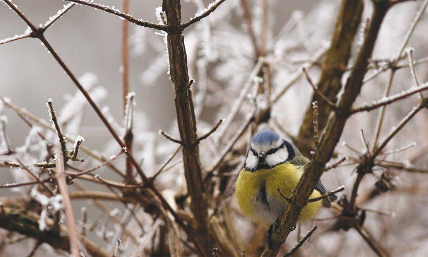 Les oiseaux qui restent - La Salamandre migration hiver mésange