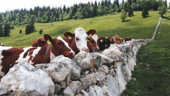 Les murs de pierres du canton de Vaud, des limites si claires - La Salamandre vache
