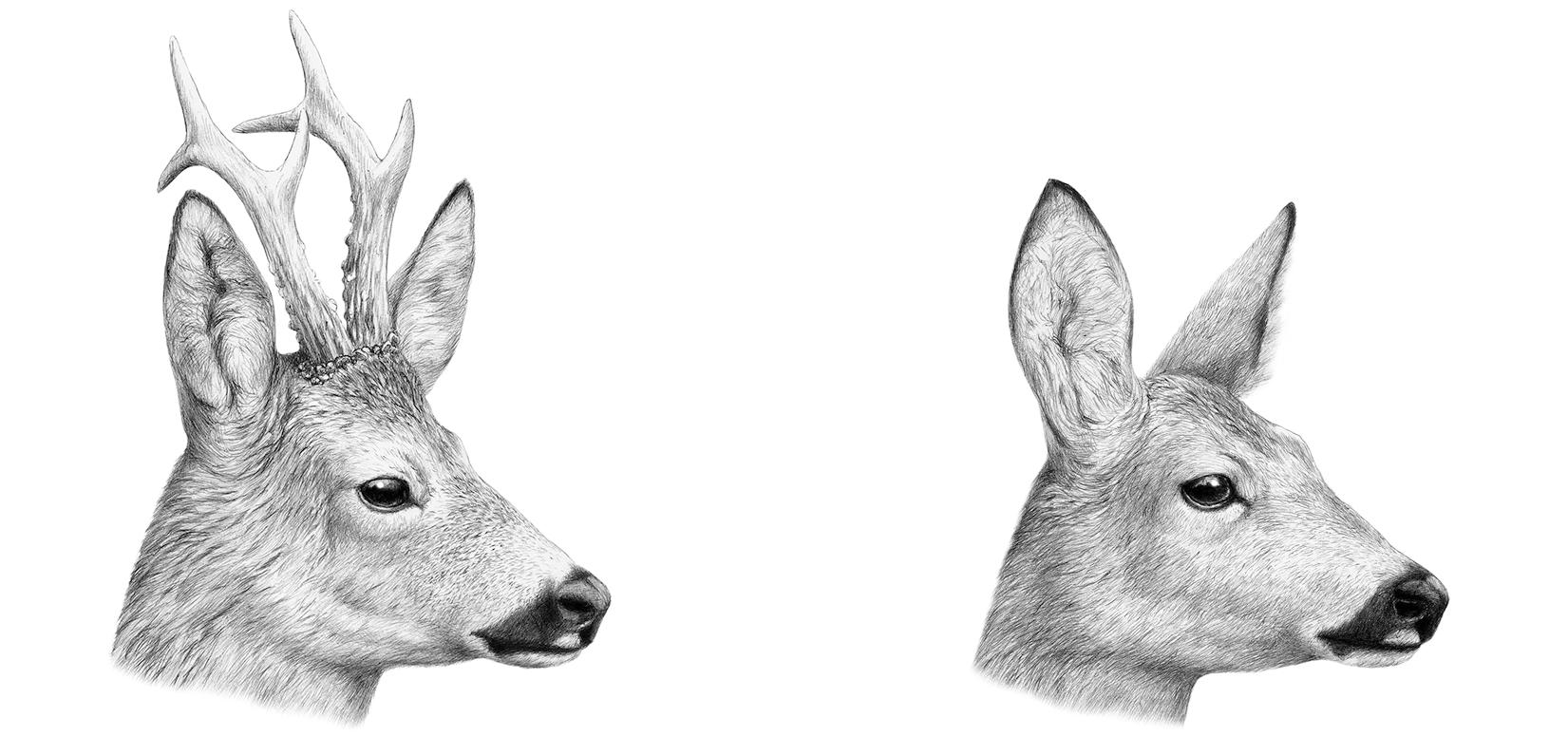 Le pari du faon Bambi - La Salamandre dessin chevreuil