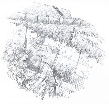 Soutenir les vignes - La Salamandre dessin