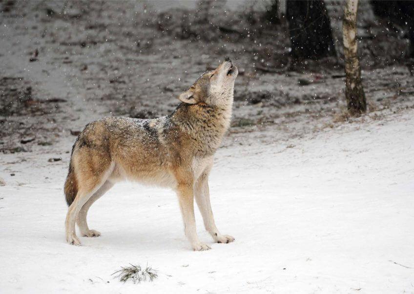 Le hurlement du loup