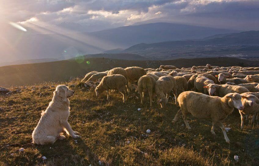 Le chien de berger veille sur les moutons