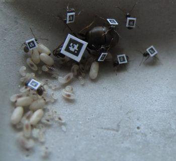Les étonnantes défenses des fourmis - La Salamandre