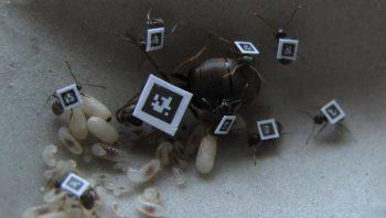 Grâce aux QR codes, les déplacements des fourmis peuvent être facilement enregistrés (larves, fourmis nourricières et reine Lasius niger).