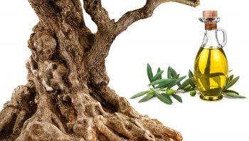 Bois, fruits et huile, trois facettes de l'olivier.