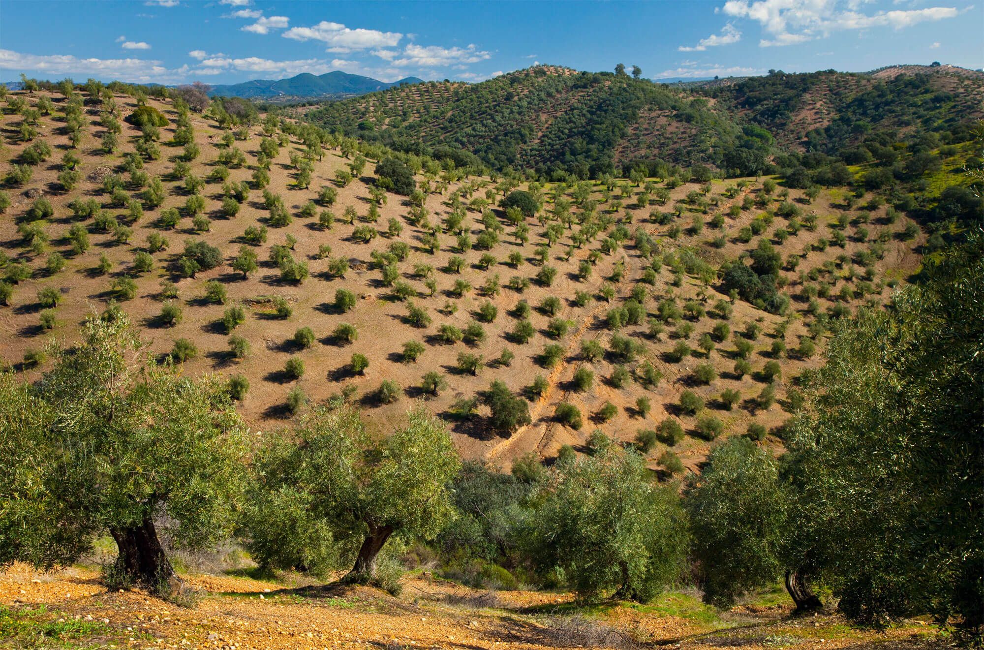 Des racines au Levant, ou les origines des oliviers - La Salamandre plantation