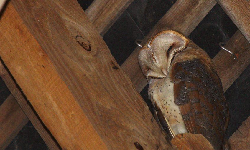 Tapis rouge et accueil pour les chouettes - La Salamandre chouette comble