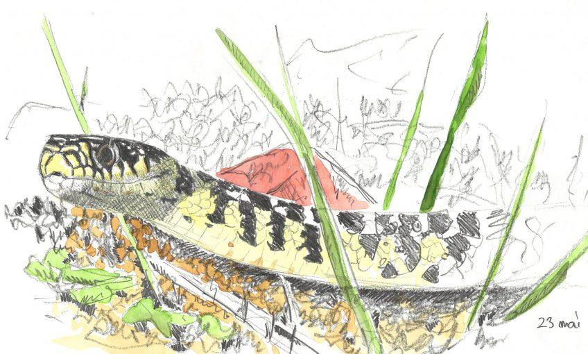 La couleuvre voisine qui donne des frissons - La Salamandre