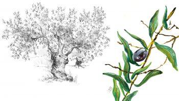 Dessins d'une oliveraie sur la côte grecque.