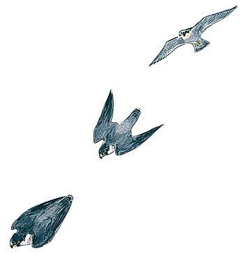 Faucon pélerin en plein piqué.
