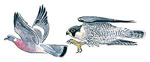 Faucon pélerin en pleine chasse.