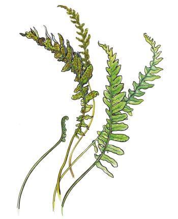 L'herboriste au pinceau, aquarelles - La Salamandre fougere