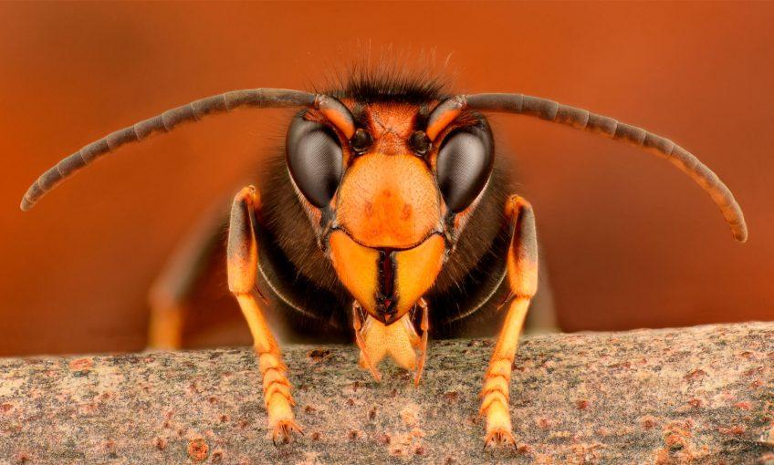 Stop aux piégeages printaniers des frelons asiatiques - La Salamandre frelon asiatique
