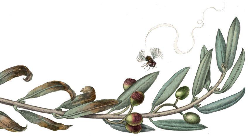 Qui s'en prend à l'olivier, arbre de paix ? - La Salamandre dessin
