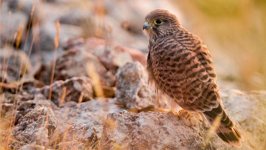 Dans l'œil du faucon, photos nature - La Salamandre crécerelle