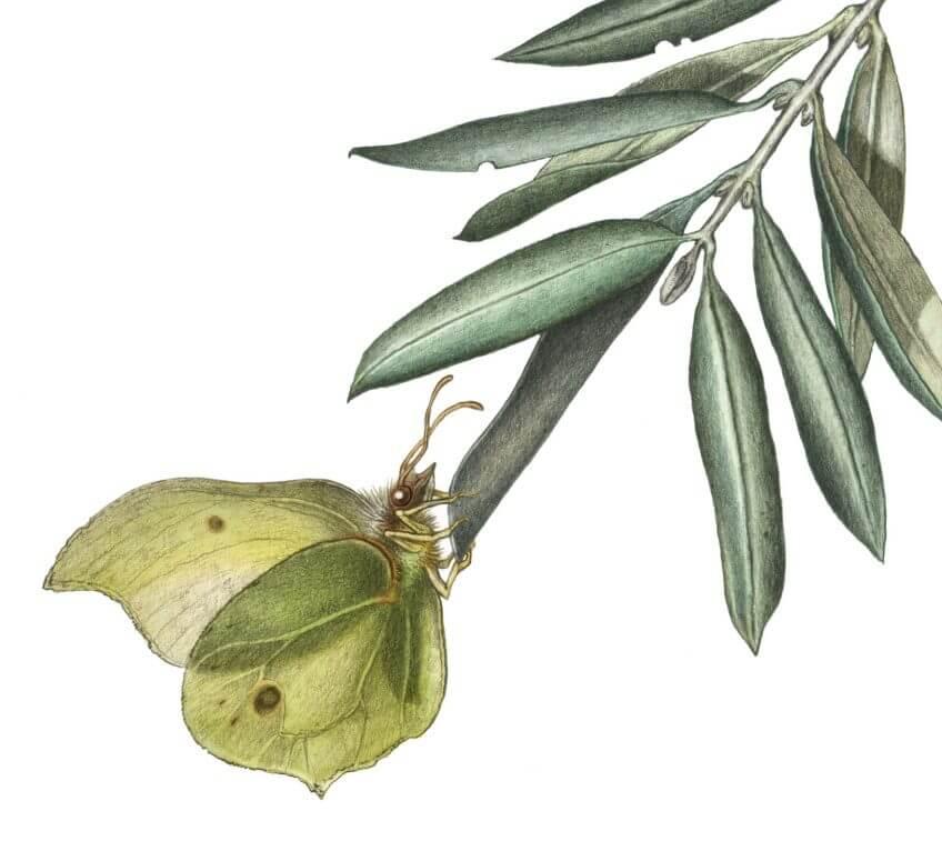 La diva et le vieil arbre, ou la cigale et l'olivier - La Salamandre dessin ambroise héritier papillon