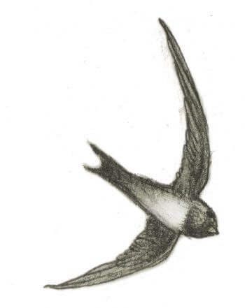 La diva et le vieil arbre, ou la cigale et l'olivier - La Salamandre dessin ambroise héritier hirondelle