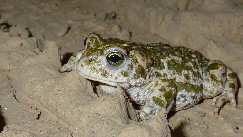 Des gouilles pour sauver le crapaud calamite - La Salamandre