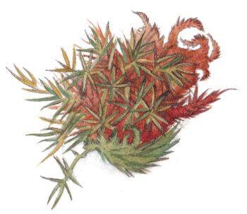 L'herboriste au pinceau, aquarelles - La Salamandre mousse