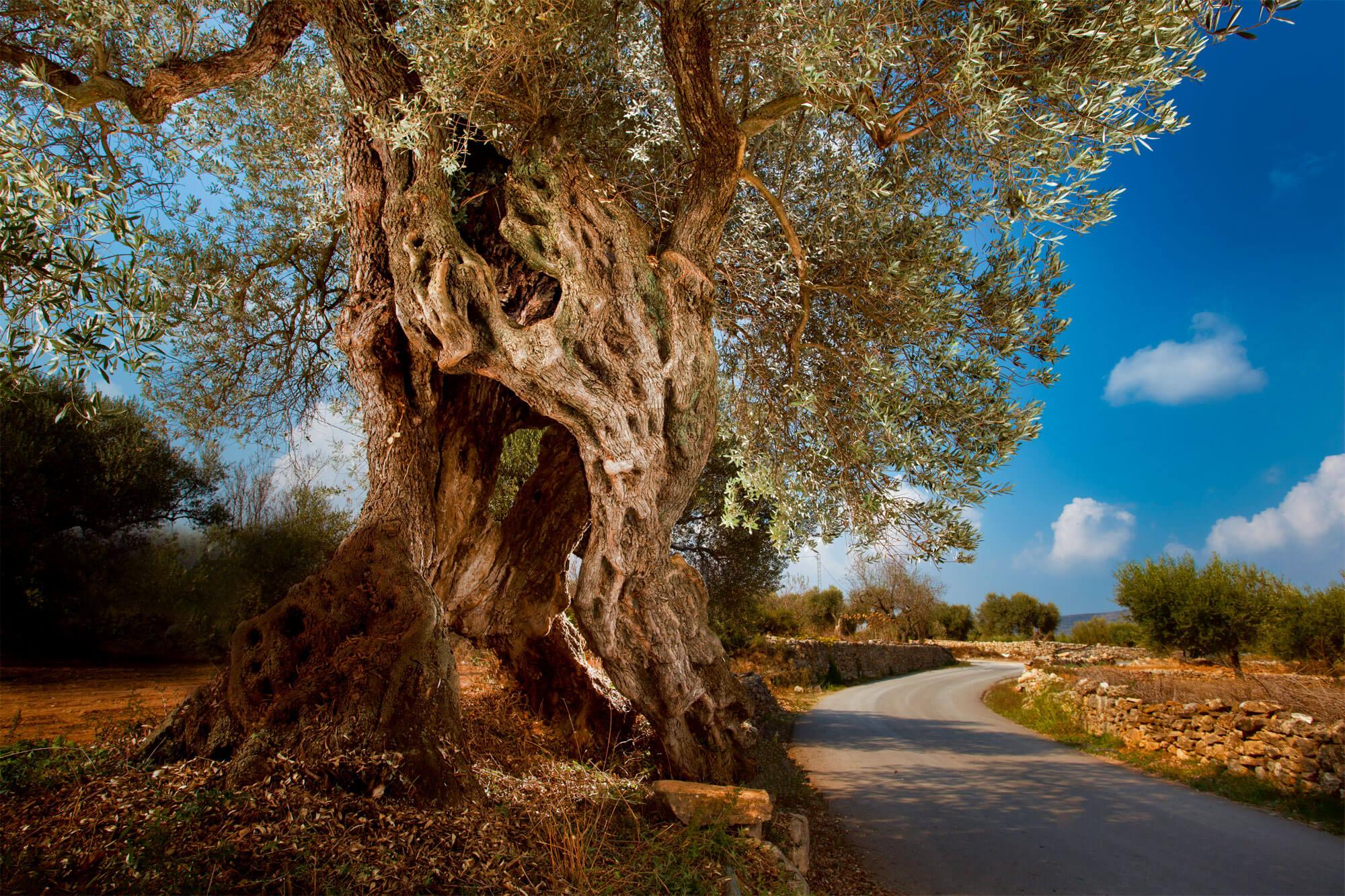 """Dossier sur l'olivier, """"Portrait d'un sage"""" - La Salamandre"""