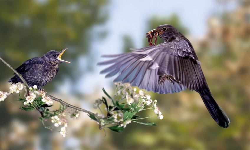Pourquoi les oisillons quittent-ils leur nid ? - La Salamandre merle noir envol plume verre