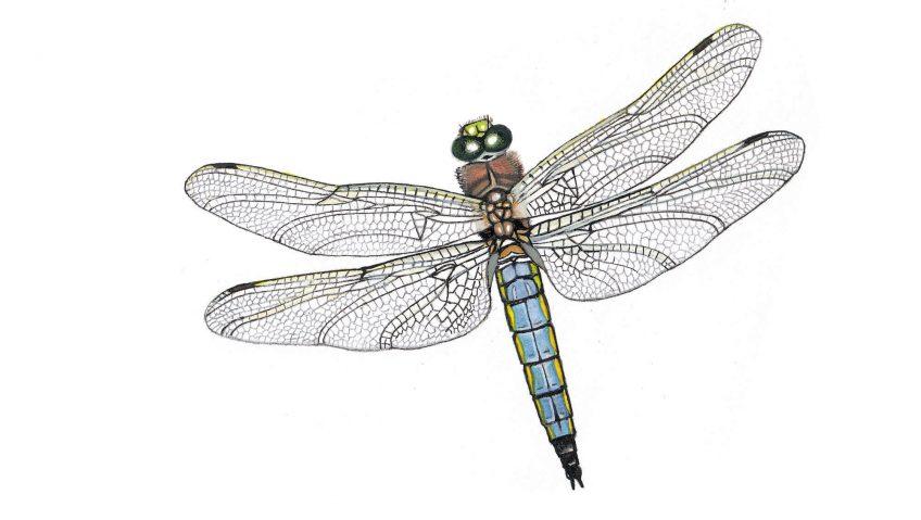 Libellule, maître des airs - La Salamandre dessin