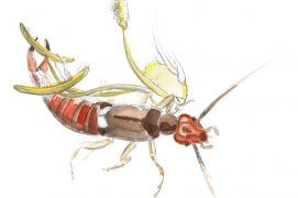 Perce-oreille se régalant des grains de pollen dorés.  / © Maeva Arnold