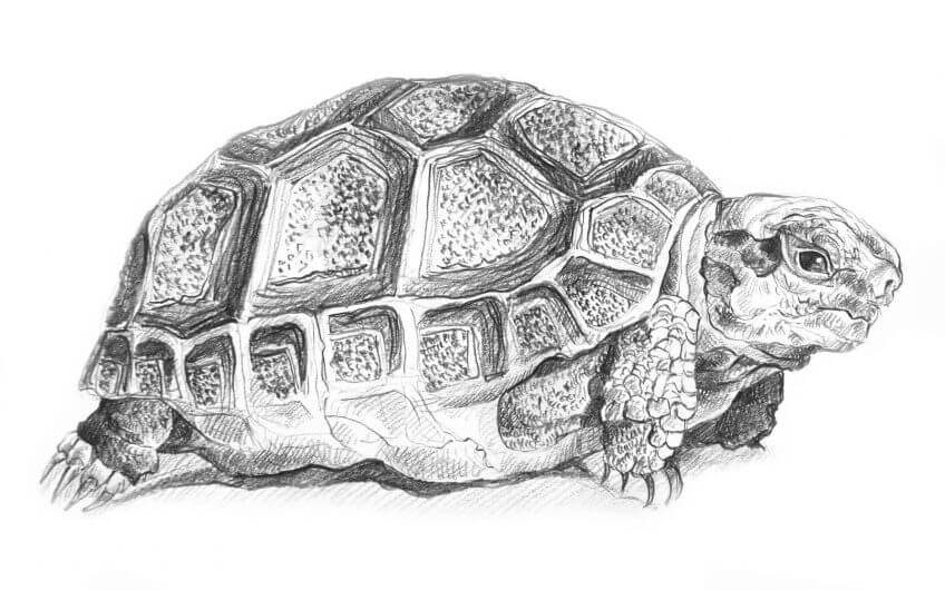 dessin tortue Reportage dans l'oliveraie Au domaine des Trois Tortues - La Salamandre