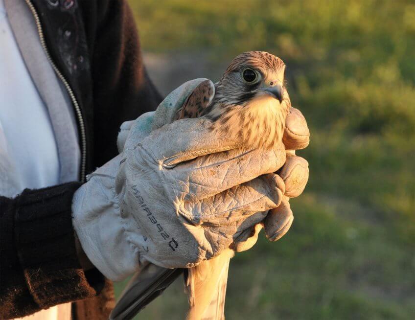L'impression 3D au secours des oiseaux - La Salamandre faucon
