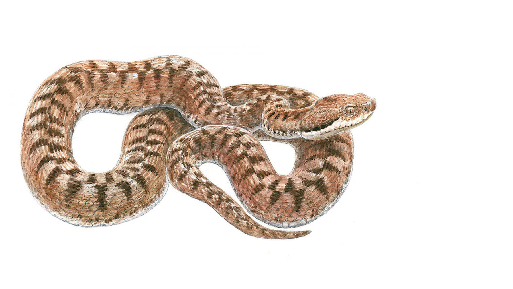 Chaud devant voici la vip re aspic la salamandre - Dessin de vipere ...