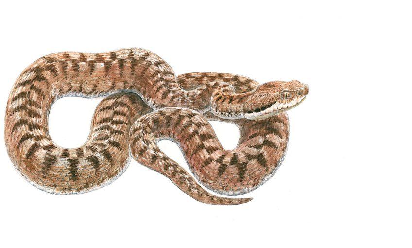 Chaud devant, voici la vipère aspic - La Salamandre