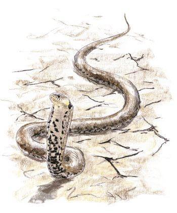 La couleuvre, reine du bluff - La Salamandre