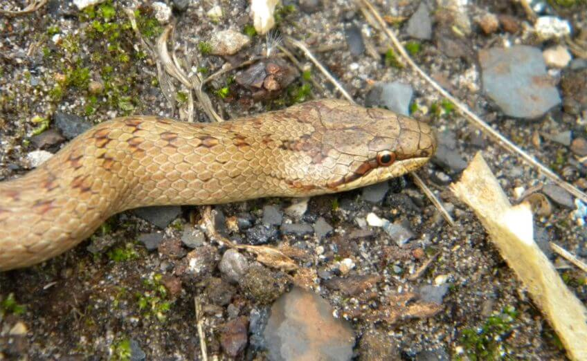 Hypothèse à dormir debout sur la couleuvre à collier - La Salamandre coronelle lisse