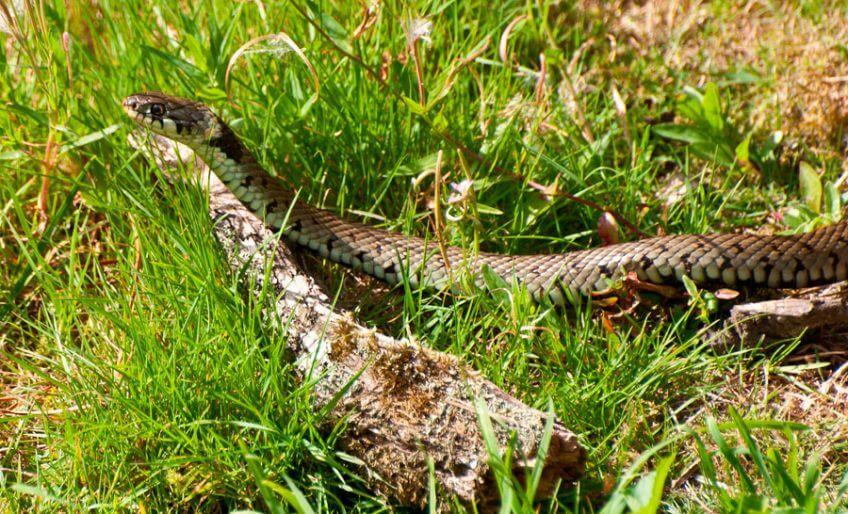 Rencontre au bord de l'eau avec la couleuvre - La Salamandre