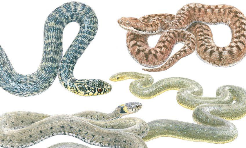 Désenclaver les couleuvres - La Salamandre dessin