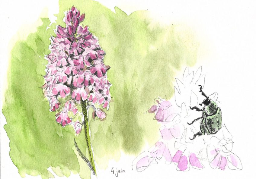 En route vers l'orchidée pyramide
