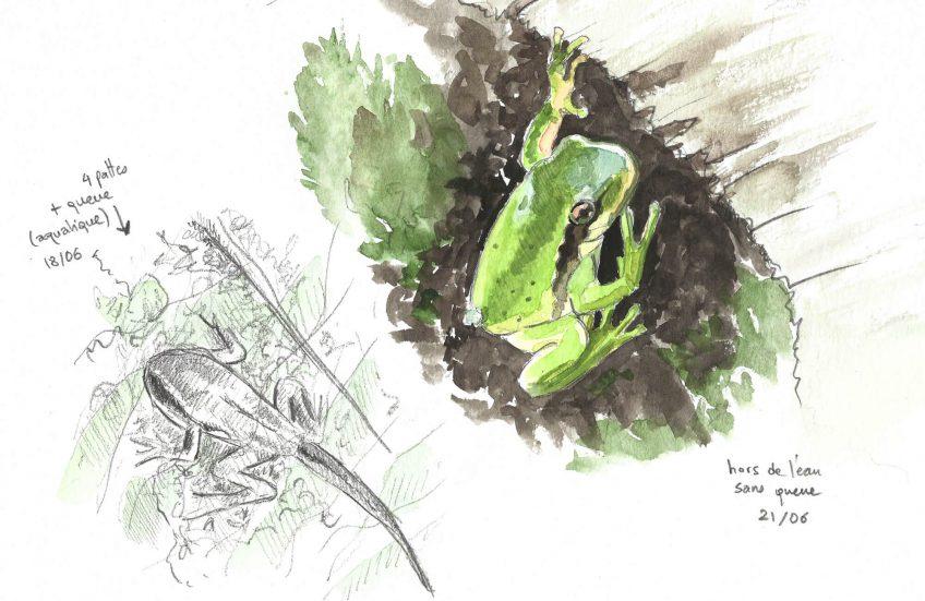 L'arène de la rainette - La Salamandre