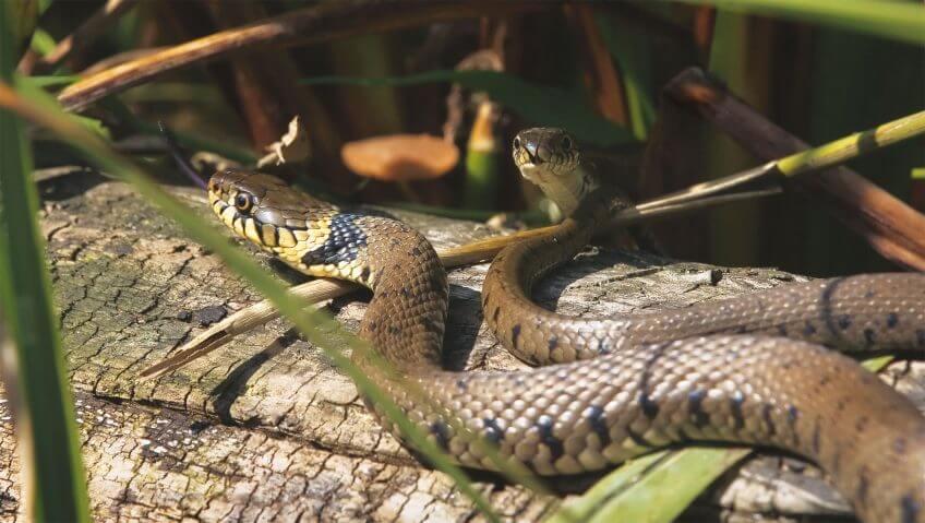 Cool la couleuvre - La Salamandre