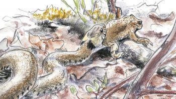 L'amphibien est généralement capturé par une…